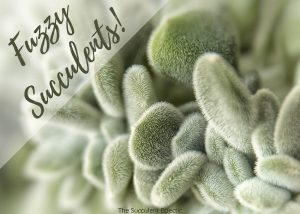 Best 15 Fuzzy Succulents and Their Care