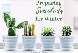 Preparing & Caring for Succulents in Winter