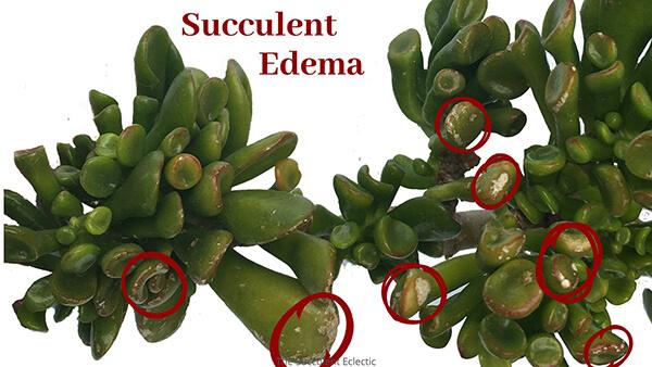 succulent edema marked on crassula ovata leaves
