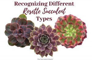Read more about the article Rosette Succulent Types ~ Identification & [Infographic]