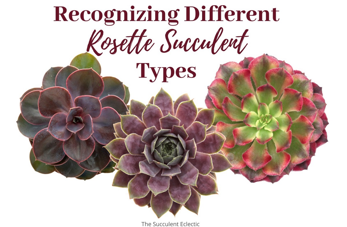 Rosette Succulent Types ~ Identification & [Infographic]