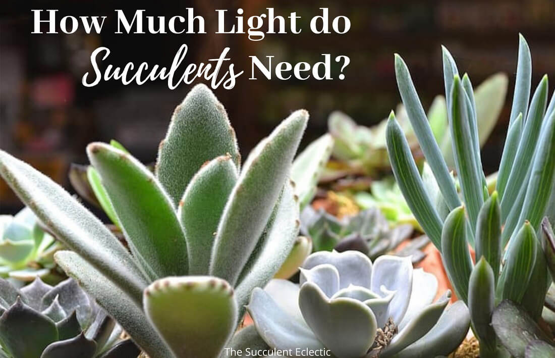 How Much Light do Succulents Need? + [Infographic]