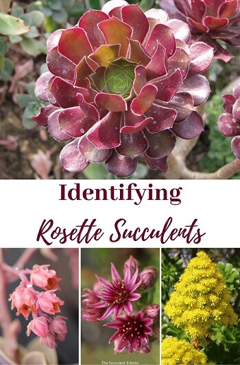 identifying rosette succulents