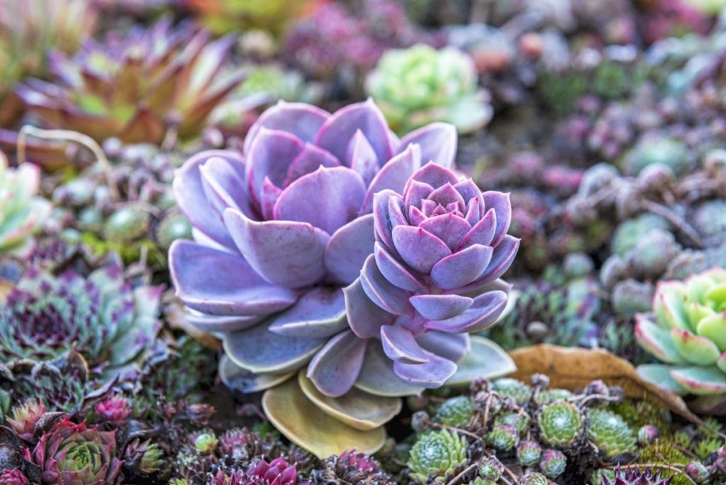 How To Water Succulents Your Plants Will Tell You The Succulent Eclectic