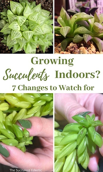 growing succulents indoors watch for these changes