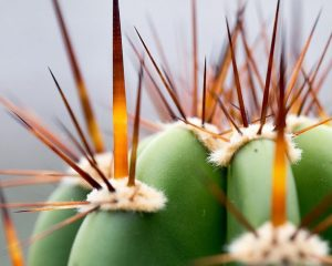 Areoles on a cactus