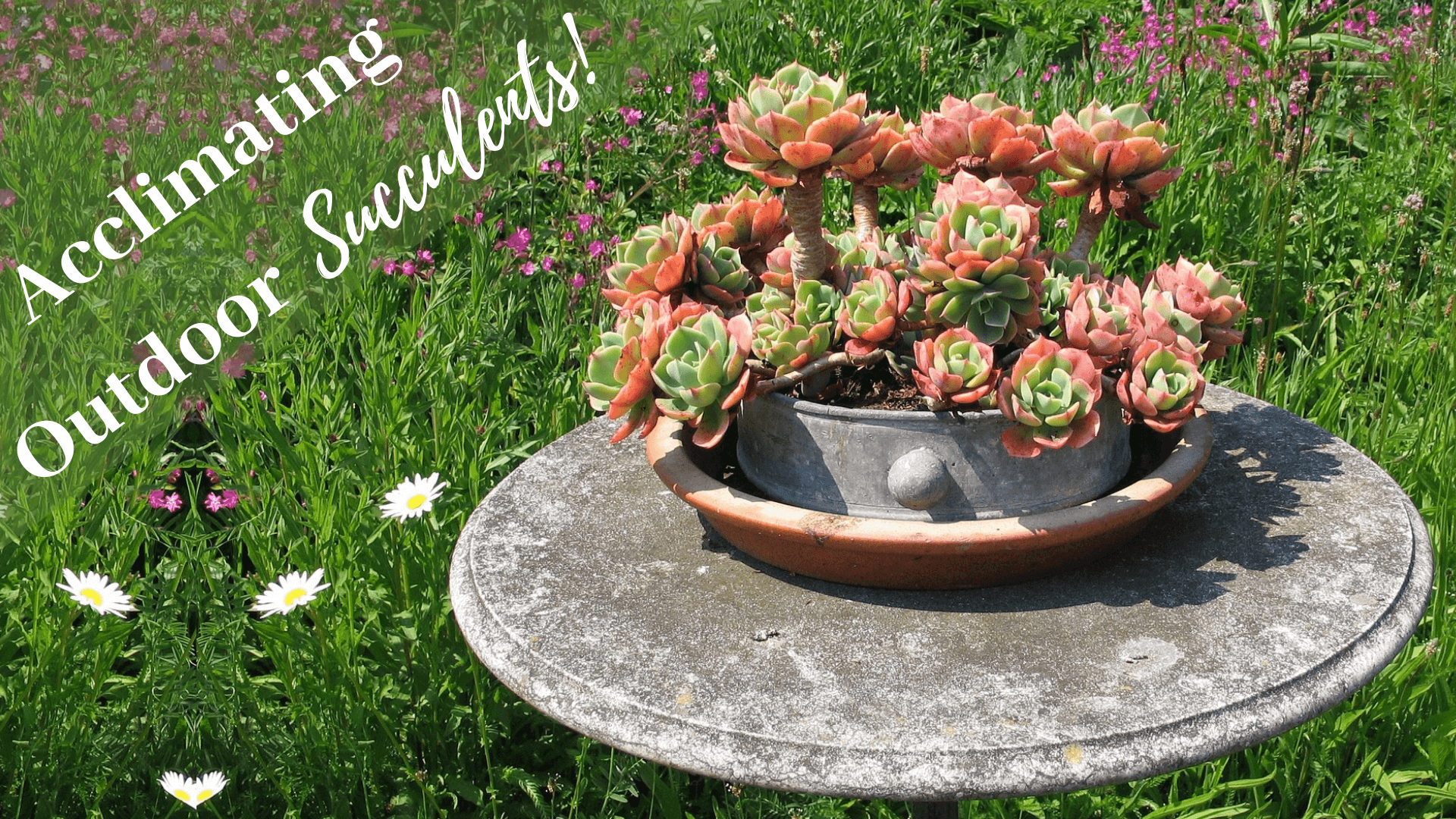 Acclimating Outdoor Succulents!