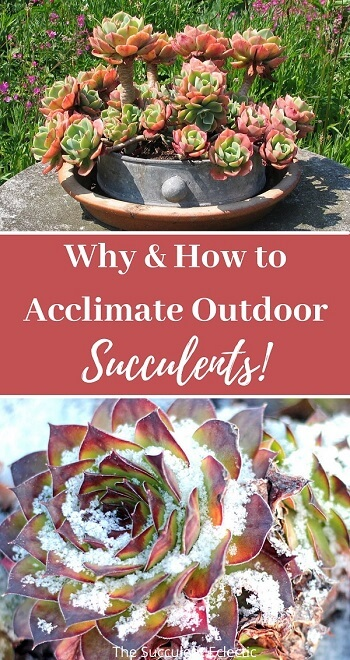 acclimating outdoor succulents