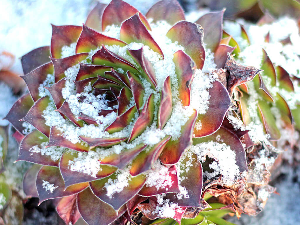 Sempervivum tectorum Royanu growing in snow
