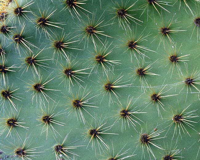 closeup of glochids on Opuntia