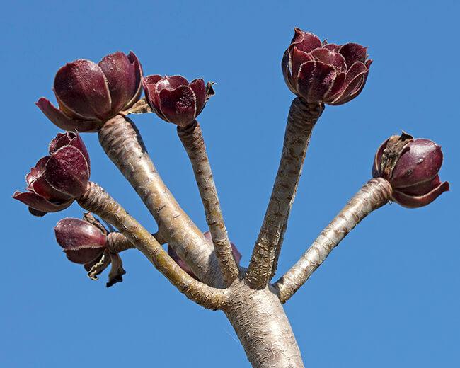 Aeonium arboreum in dormancy