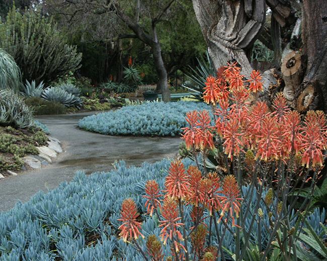 drout tolerant garden of alowes and senecio - Huntington Desert Garden