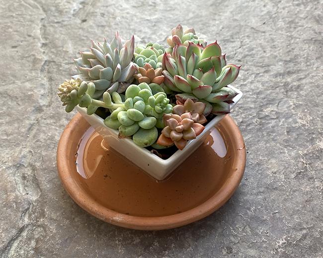 bottom watering succulents