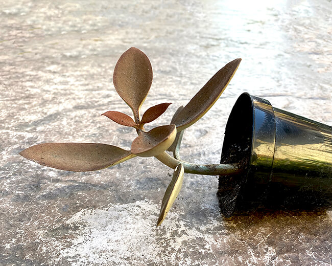 geotropism bending kalanchoe copper spoons