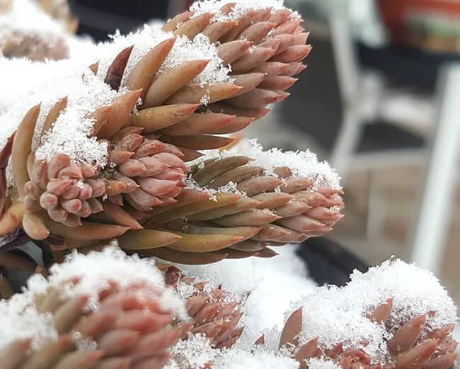 hardy sedum in snow