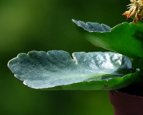 kalanchoe leaf green with chlorophyll