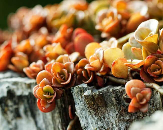 sedum-spurium fuldaglut in fall colors
