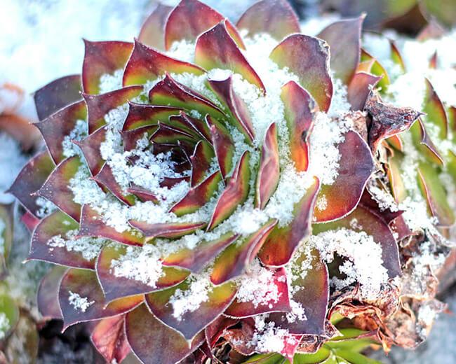 winter hardy sempervivum royanum in snow