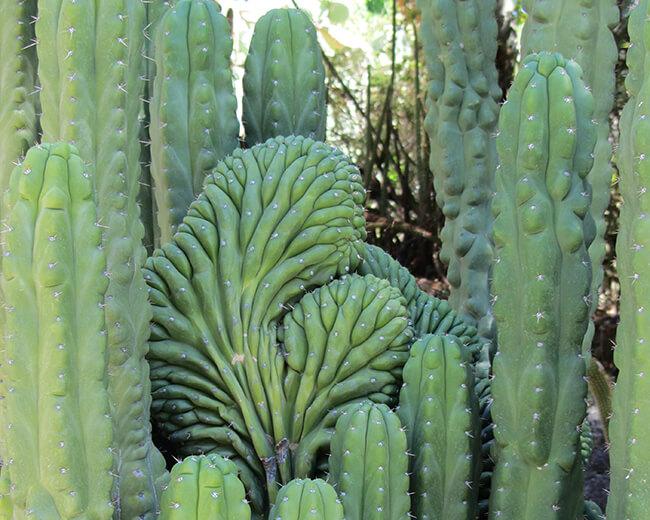 Echinopsis_pachanoi demonstrates mutation with crested