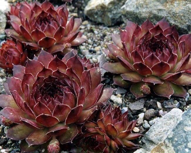 Sempervivum marmoreum 'ornatum with offsets