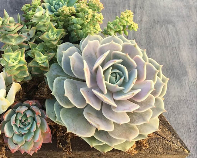 echeveria Lola an ideal rosette succulent
