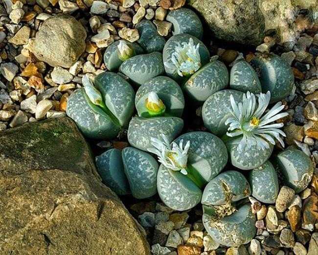 Lithops are an example of mesembs