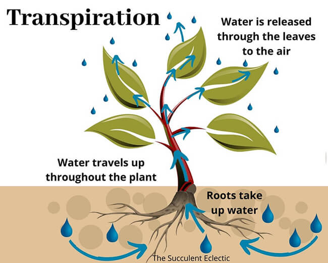 plant transpiration infographic