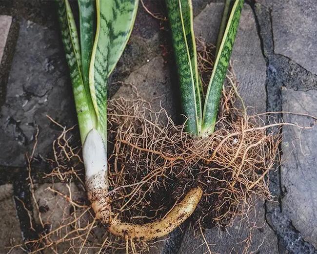 sansevieria rhizome