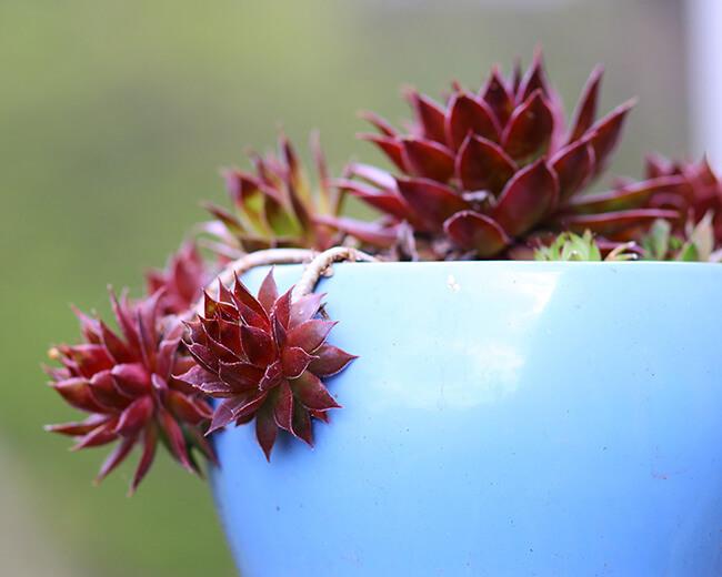 sempervivum plantlets