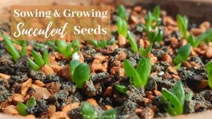 Sowing & Growing Succulent Seeds
