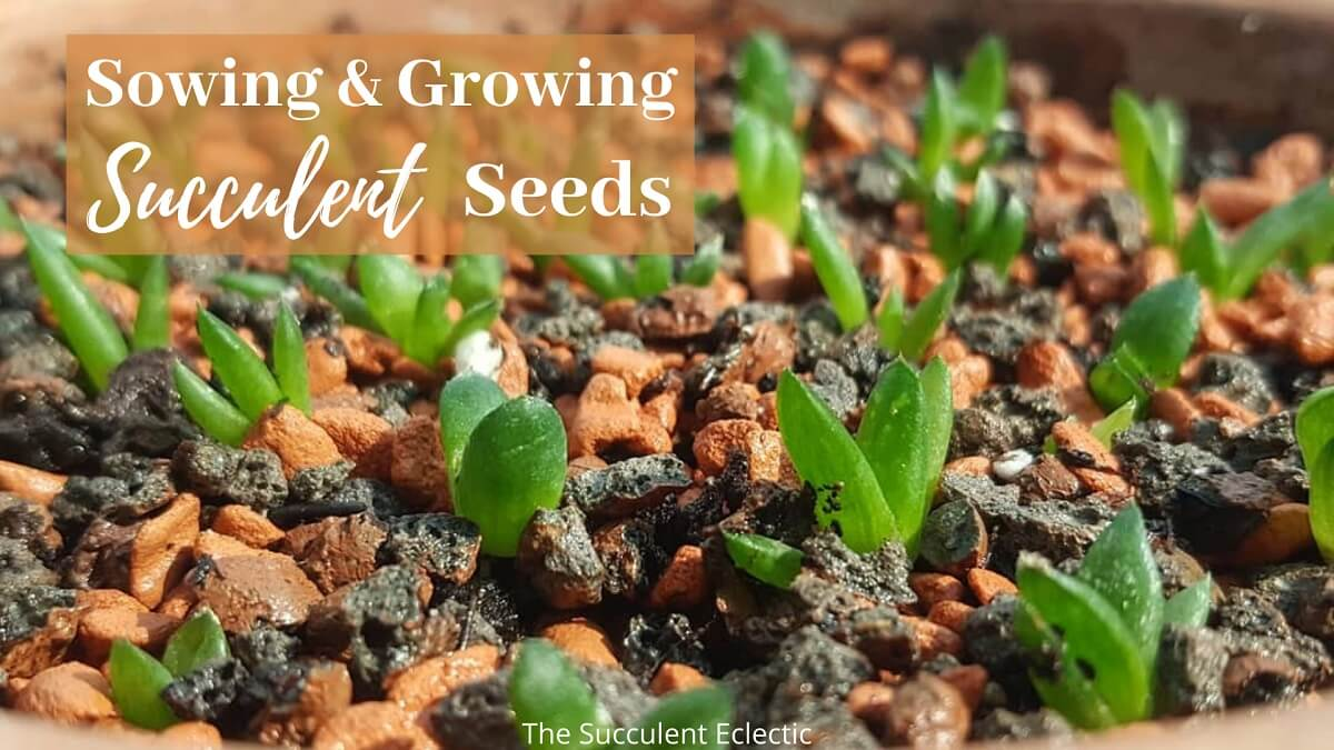 You are currently viewing Sowing & Growing Succulent Seeds
