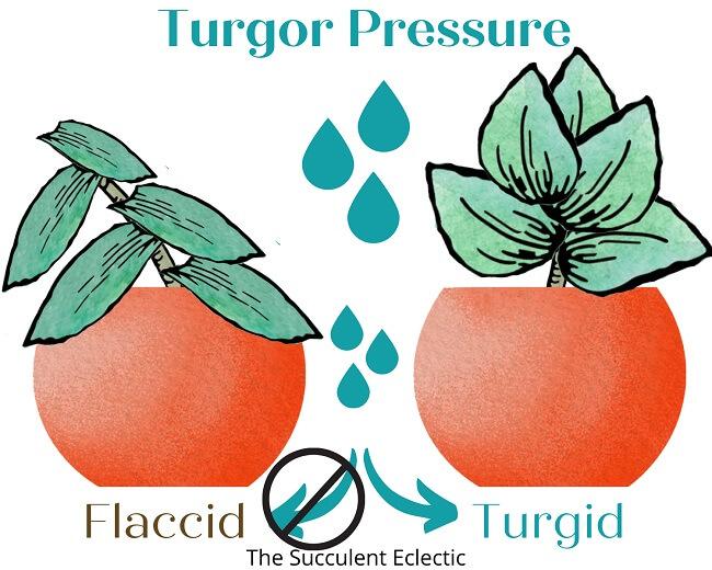 turgor pressure in plants