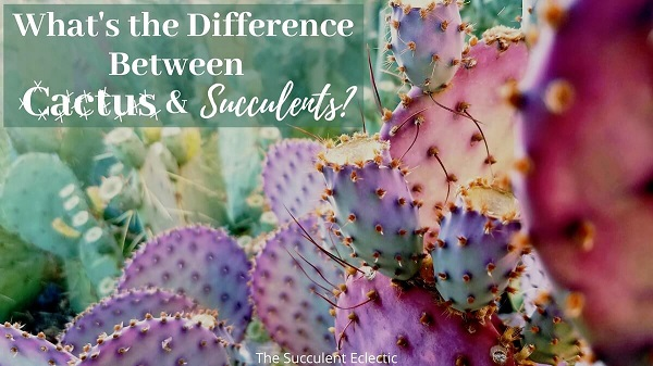 what's the difference between cactus and succulents