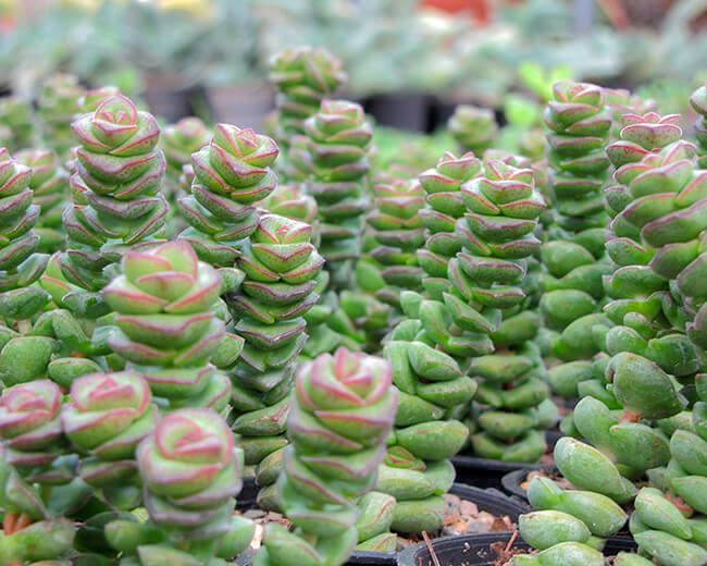 Crassul perforata is a cultivar