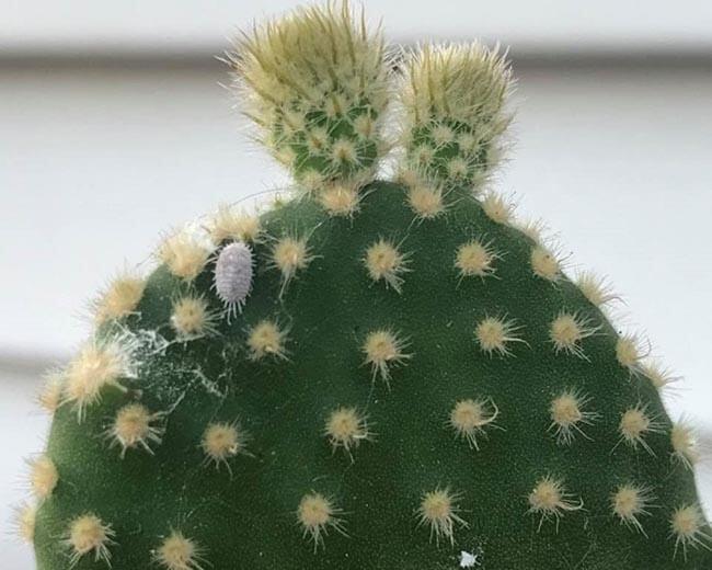 mealybug on cactus