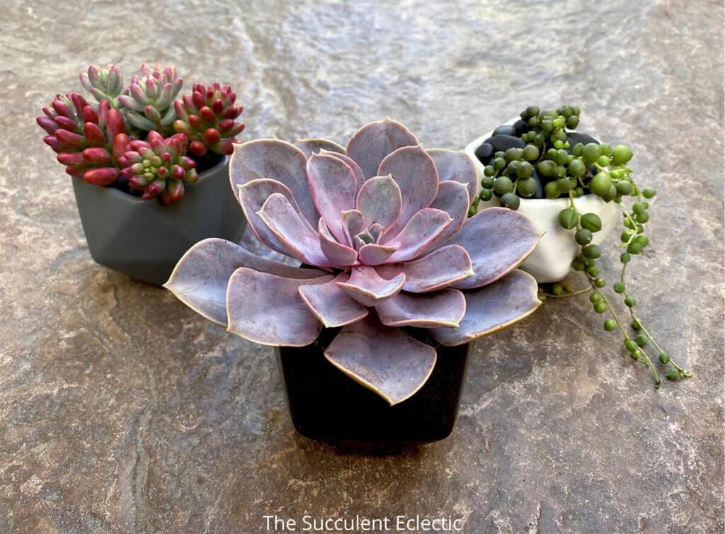 3 complementary succulents make a simple succulent design