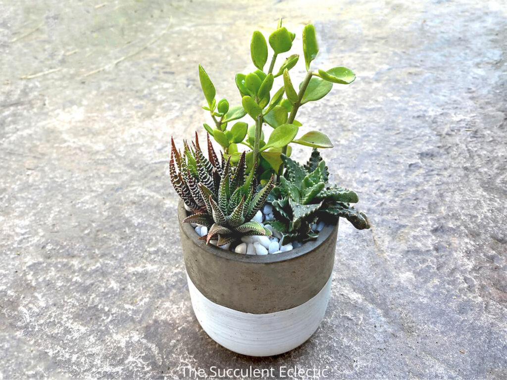 indopr succulent arrangement featuring Haworthia fasciata, , Kalanchoe hildebrantii var. glabra and Faucaria tuberculosa