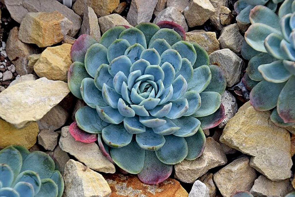 Echeveria elegans - classic rosette blue succulent