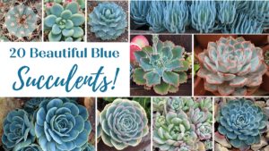Read more about the article 20 Best Blue Succulents for Your Collection!